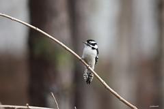 Downy Woodpecker  Picoides pubescens (jackhawk9) Tags: downywoodpecker picoidespubescens woodpecker birds wildlife nature jackhawk9 southjersey backyardbirding newjersey usa canon ngc