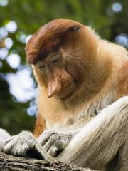 Proboscis Monkey (Synghan) Tags: proboscismonkey monkey animal macaque ape head headshot face longnose singaporezoo nature natural wild wildlife primate mammal endangeredspecies rare photography vertical outdoor colourimage fragility freshness nopeople foregroundfocus adjustment interesting awe wonder halflength depthoffield vivid sharpness travel destination attraction canon eos80d 80d tamron 18270mm f3563 코주부원숭이 원숭이 뺑코원숭이 싱가포르 동물원 telephoto magnified