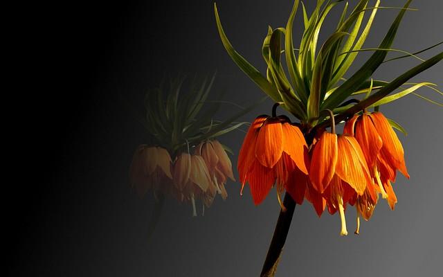 Обои фон, растение, лепестки, рябчик императорский картинки на рабочий стол, раздел цветы - скачать