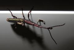 Brentidae; 20180304; PA-Colón-Gamboa (plantpollinator) Tags: coleoptera cucurlionoidea brentidae