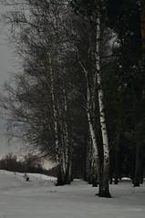 In the winter forest. (ALEKSANDR RYBAK) Tags: изображения зима сезон погода природа снег лес деревья ветки пейзаж images winter season weather nature snow forest trees branches landscape tree wood park sky