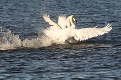 IMG_2441 (LezFoto) Tags: swan mute cygnusolor loirstonloch aberdeen scotland unitedkingdom canoneos700d sigma 700d canon 120400mmf4556dgapooshsm digitalslr dslr canonphotography sigmalens fight splash splashing action