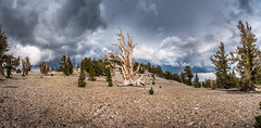 Multishot Panorama Lightroom Stitched! White Mountains Ancient Bristlecone Pine Forest! Dark Colorful Thunderhead Stormclouds! Sony A7R2 Inyo National Forest Bishop California Dr. Elliot McGucken Fine Art Photography! Sony A7R II & 16-35mm F4 Carl Zeiss! (45SURF Hero's Odyssey Mythology Landscapes & Godde) Tags: white mountains ancient bristlecone pine forest dark colorful thunderhead stormclouds sony a7r2 inyo national bishop california dr elliot mcgucken fine art photography a7r ii 1635mm f4 carl zeiss wide angle lens high res 4k 8k photos
