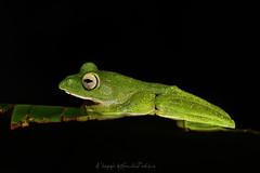 Managing a slender perch (Moving Iris) Tags: frog amphibian amphibians herpatology herping herpetofauna macro macrophotography monsoon nature nikon nikond500 nikkor105f28 nikonindia