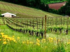 Dundee Hills Vineyards. Dayton, Oregon (mtm2935) Tags: pacificcoast grapes willamette portland dayton oregon willanettevalley dundee wineries vinos vines vineyards