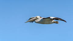 Pelican in the air (Merrillie) Tags: wings waterfront bills nature water birds newsouthwales nsw brisbanewater wildlife feathers australia woywoy coastal flying outdoors animals fauna centralcoast bay pelican