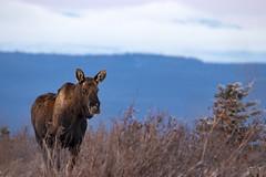 February Bull (Dan King Alaskan Photography) Tags: bullmoose bull moose alcesalces interioralaska wildlife wilderness protectwildlife preservewilderness canon80d sigma150600mm