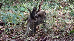 Monkeys (khalil_casablanca) Tags: africa tanzania monkeys family animals safari friends care