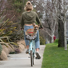 Hitch'n a ride (Russ Beinder) Tags: rodney dog puppy cardigan corgi welsh girl bike ride basket cycle