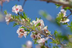 mandelbluete_00091b (LosTimeCatchers) Tags: flora mandelblüte flor amendoa