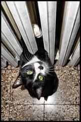 """La gatta Mose' - """"Calorifero amore mio!"""" (claudiobertolesi) Tags: cat gattomosè claudiobertolesi pets milano biancoenero calorifero cold winter"""