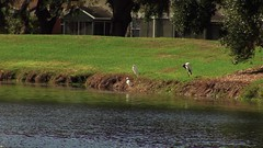 Birds on lake shore (Ricardo's Photography (Thanks to all the fans!!!)) Tags: video b roll anthem park florida nature sony saintcloudfl centralflorida cinematic videolibrary freevideos 1080pvideos 1080p freefootage footage sonyvideos