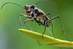 Myriochile (3) (andredekesel) Tags: cicindelinae yangambi drcongo coleoptera macro rainforest taxonomy:order=coleoptera focusstacking stagedinsects st