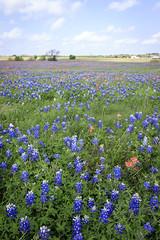 2017-016-206 Spring Wildflowers (Chrisinkingwood) Tags: texas wildflowers brenham unitedstates us
