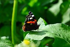 Orange black butterfly 5 (benrokh) Tags: m50 stm eosm50 canonm50 55250 55250stm is