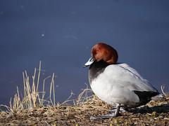 Pochard (yvonnepay615) Tags: panasonic lumix gh4 duck pochard wwt welneywetlandtrust norfolk eastanglia uk coth coth5