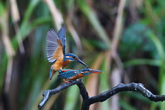 Common Kingfisher (jonus weng) Tags: supershot common kingfisher mating fish rainy branch wing canon ng national geographic