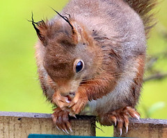 Red Squirrel (Dave Russell (1.3 million views thanks)) Tags: red squirrel rodent animal nature wild life wildlife photo photography photograph garden outdoor isle island arran clyde west western scotland canon eos eos7d 7d uk lagg kilmory