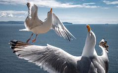 Come into my arms! (Bernd Thaller) Tags: seagull bird kerry ireland sea blue outdoors dancing animals dinglepeninsula sleaheaddrive sleahead seagulls flying wings ocean