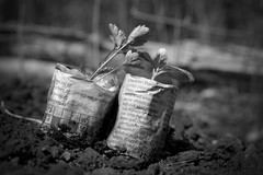 Celery (daraparsons) Tags: allotment celery crossword flickr garden mono paper pots recycling seedlings