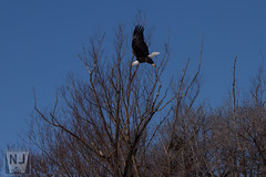 Take Flight (Nathan Jurgensen) Tags: bald eagle wildlife north platte nebraska bird birding