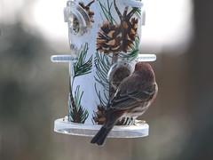 Bird on Feeder (hbickel) Tags: birdonfeeder colorful feeder canon canont6i photoaday pad