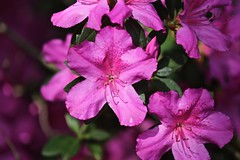 0B6A1616 (Bill Jacomet) Tags: azalea azaleas flower flowers houston tx texas 2019