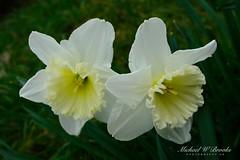 Daffodil X2 in On1