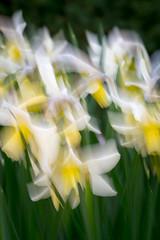 Daffs (tom ballard2009) Tags: nationaltrust nymans sussex blossom flowers macro daffodil daffodils daffs icm panning abstract