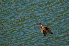 Chestnut Teal (F) (Rodger1943) Tags: ducks chestnutteal teals australianbirds sonyrx10m4 birdsinflight faunainmotion waterbirds