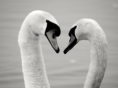 Mute swans (PhotoLoonie) Tags: swans muteswans waterbird bird wildlife nature
