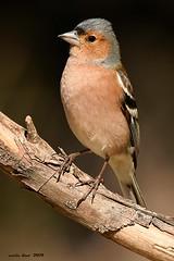 (Enllasez - Enric LLaó) Tags: pinsà pinzón aves aus bird birds ocells pájaros 2019 vallbona hide