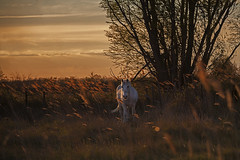 Sunset (JLM62380) Tags: cheval light white blanc camargue france nature chevaux horse saintesmariesdelamer animal ciel arbre champ sunset coucherdesoleil