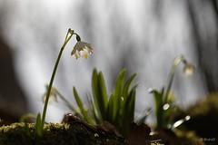 20190401_Beauregard_Baret_Drôme_9730-BorderMaker (Bruno Durieu) Tags: nivéole vercors montagne plantes herbacées pérennes bulbes amaryllidaceae bois altitude printemps