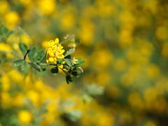yellow! (radek_k_) Tags: yellow color colour spring lisbon cascais olympus nature flower leaf green bokeh mzuiko garden portugal outside