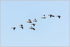 Australian Shelduck (XT2&5D4) Tags: birds waterbirds duck ballarat australia
