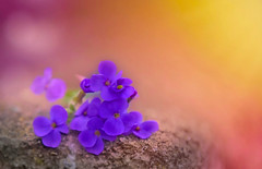 Violet Sunset... (KissThePixel) Tags: macro makro nature violet dogviolet wildflower wildflowers spring springflowers meadow springmeadow wall bokeh light bokehlicious blue violets blueflowers pov sunset sunlight sundown beautiful nikon nikond750 garden sigma 28 f28