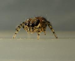 Tiny jumping Spider (Craig Tuggy) Tags: bangkok thailand macro reverse lens spider