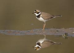 Little Ringed Plover - Charadrius dubius (Gary Faulkner's wildlife photography) Tags: littleringedplover charadriusdubius