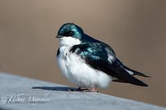 Tree Swallow (mayekarulhas) Tags: tree swallow johnheinznaturereserve philadelphia pennsylvania bird wildlife wild avian