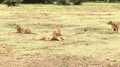 Lions Playing Video (Everyday Glory!!!) Tags: ngorongorocrater ngorongoro africa tanzania wildlife gamedrive safari lakemagadi lion bigcat felidae simba lioness lionpride pride