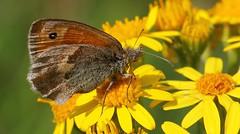 Small Heath 070717 (Explored) (Richard Collier - Wildlife and Travel Photography) Tags: butterflies insects british britishbirds macro closeup smallheath