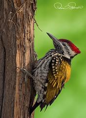 _THS2265s (TARIQ HAMEED SULEMANI) Tags: sulemani tariq tourism trekking tariqhameedsulemani winter wildlife wild birds nature nikon