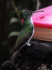 Andean Emerald (Anita363) Tags: andeanemerald amaziliafranciae amazilia emerald trochilidae apodiformes bird fauna hummingbird alambicloudforestreserve tandayapavalley ecuador
