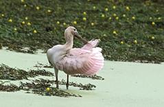 Platalea ajaja (mazama973) Tags: bird oiseau frenchguiana guyane guyanefrançaise threskiornithidae plataleaajaja spatulerosée roseatespoonbill