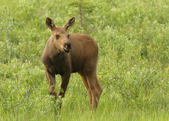 Moose calf...#16 (Guy Lichter Photography - 4.4M views Thank you) Tags: canon 5d3 canada manitoba rmnp wildlife animals mammals moose calf