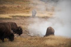 Refuge de chaleur (Samuel Raison) Tags: bisons buffalos bison buffalo mudvolcano yellowstone yellowstonenationalpark yellowstonewildlife nature wildlife nikon nikond800 nikon2870200mmafsvr