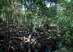 Los Haïtises - La mangrove - 12/02/09 (Philippe_Boissel) Tags: amériquecentrale républiquedominicaine caraïbes loshaïtises mangrove country landscape forêt 1619
