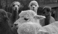 What are you looking? (Fay2603) Tags: animals alpacas blackwhite blackandwhite animali funny