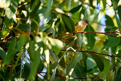 Jacky Winter (illuzian) Tags: small birding smallbirds cute bird photograpgy animals birdwatching animal